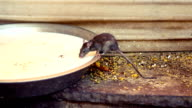 Holy rat drinking milk from a bowl at Karni Mata Temple, India. video