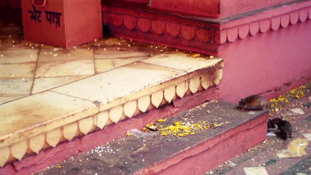 Holy rats at Karni Mata Temple, India. video