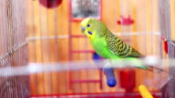 Home Parrot in a Bird Cage video