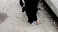 Homeless on the street Black Dog gnaws a plastic bottle video