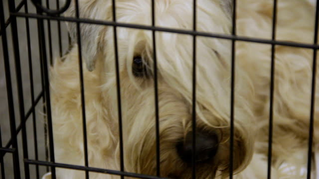 Homeless Wheaten Terrier at dog shelter with eyes full of sadness and sorrow video