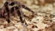 Honduran Curly Hair tarantula (Brachypelma albopilosum) video