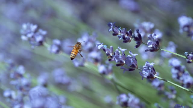 Honey bee and lavender in slow motion video