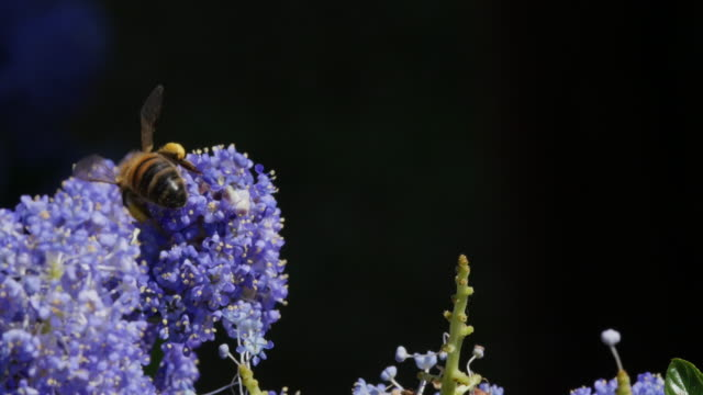 Honey Bee, apis mellifera, Adult in Flight, Flying to Flower with Pollen Baskets, Normandy, Real Time 4K video