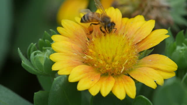 honey bee collect nectar from flower video