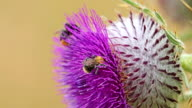 Honey bee collecting nectar and pollen from flower thistle video