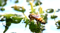 HD MACRO: Honey Bee Collecting Pollen video