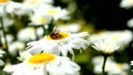 Honey bee collects pollen on a daisy flower video