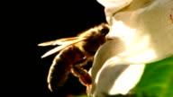 HD MACRO: Honey Bee In Action video