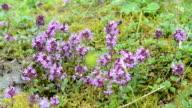 honey bee on a wild thyme in european alps. purple flower heads. video