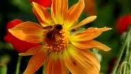 Honey bee on flower macro video
