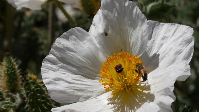 Honey bee on flower video