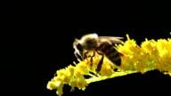 Honey bee on yellow flower macro summer heat macro video