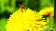 Honey bee on yellow flower macro video