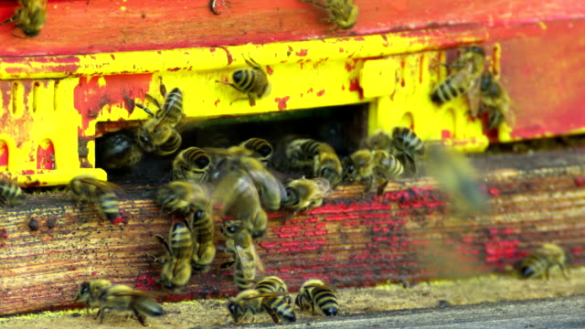 Honey Bees At The Beehive Close-up video
