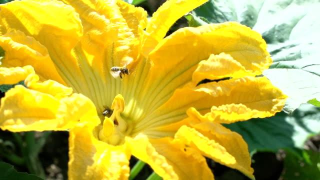 SLO MO Honey Bees Collecting Pollen video