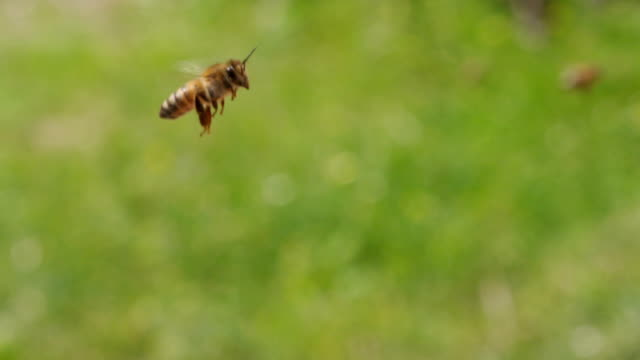 SLOW MOTION: Honey bees flying video