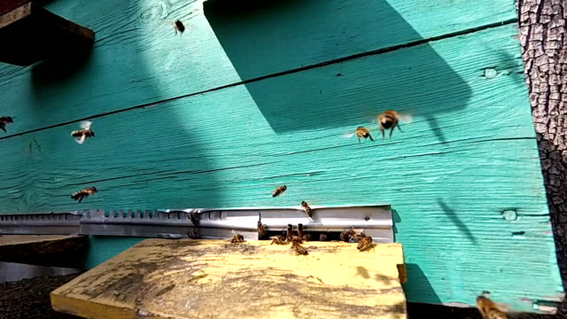 Honey bees near a beehive, in flight. video