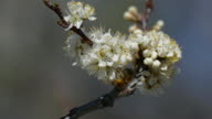 Honey bees pollinate plum tree blossoms Roxborough State Park Colorado video