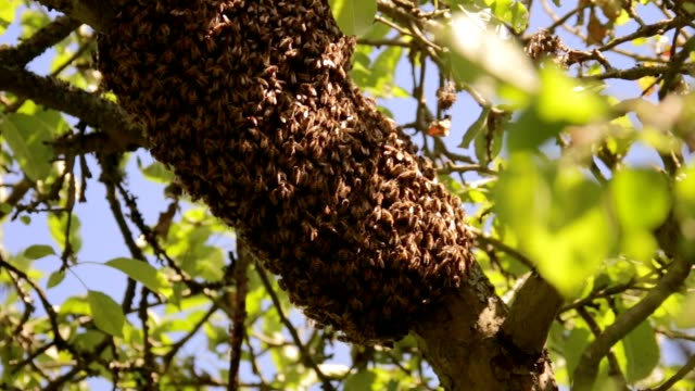 Honey Bees Swarm on a Branch in Summer video