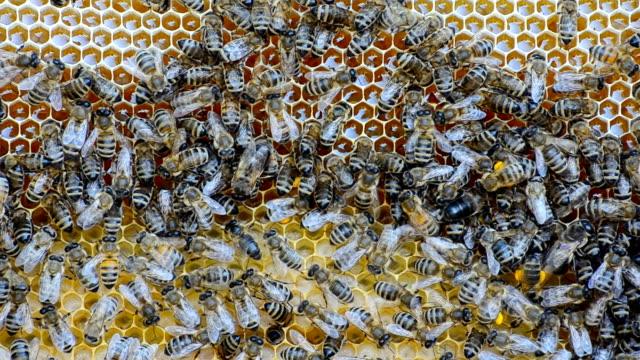Honey bees. video