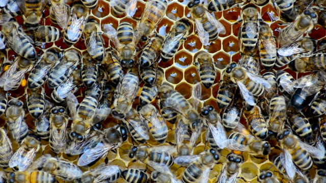 Honey bees. video
