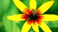 Honeybee crawling on yellow coneflower and flying away. FullHD macro video, vivid colors version video