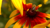 Honeybee crawling on yellow coneflower and flying away. Super slow motion macro video, 250 fps video