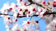 Honeybee over plum blossoms video