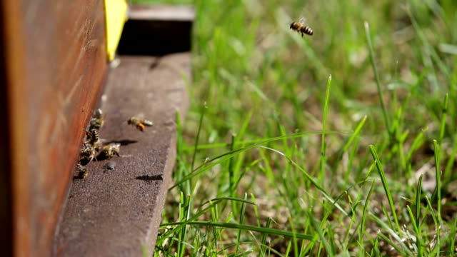 Honeybees flying into their hive video