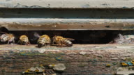 Honeybees work at the entrance to the hive video