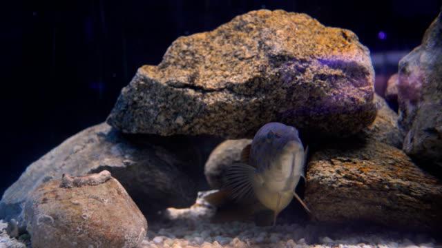 Honeycomb Moray eel video