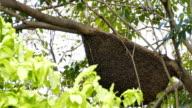 Honeycomb of Apis dorsata bee. video