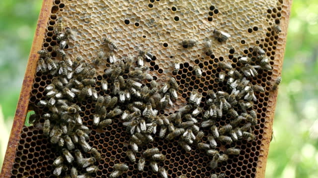 Honeycomb with bees and honey video