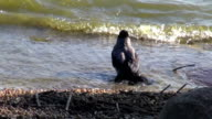 Hooded crow (Corvus corone) sea water bath wash on beach video