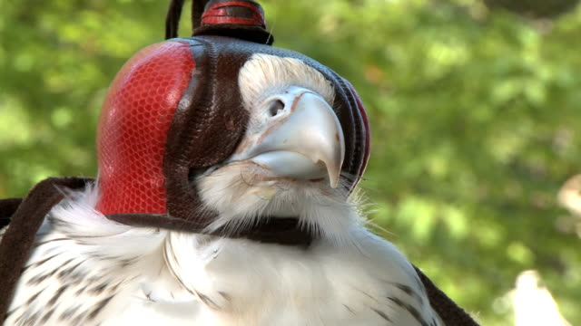 Hooded gyrfalcon used in falconry video