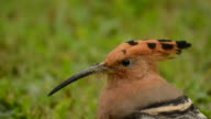 Hoopoe bird movement action video