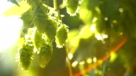 Hop Flowers In The Sunlight Close-up (4K/UHD to HD) video