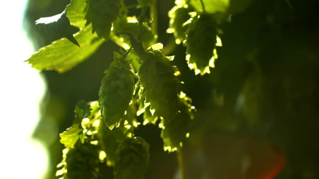 Hop Flowers In The Sunlight Rack Focus (4K/UHD to HD) video