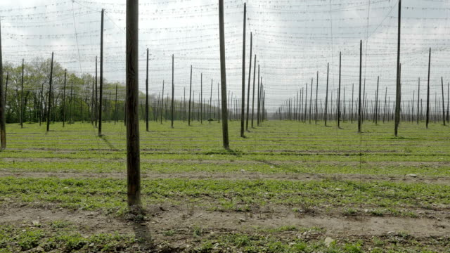 Hop garden field for cultivating hops for brewing beer. video
