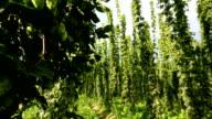 Hops field, panning video