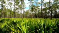 Horizontal panning shot of pine forest with Saw Palmetto understory video