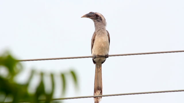 Hornbill bird. India. Radzhastan.Udaypur video