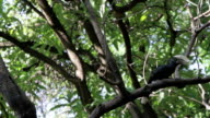 hornbill scratching bill on branch video