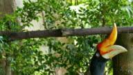 Hornbill video