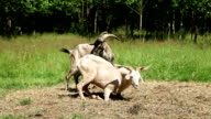 Horned goats are on the hay video