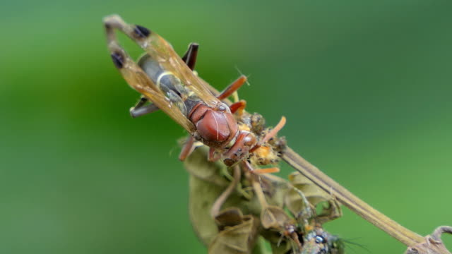 Hornet eating insect on branch. video