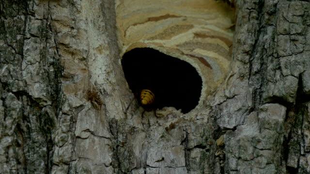 Hornet Fly In Nest Slow Motion video