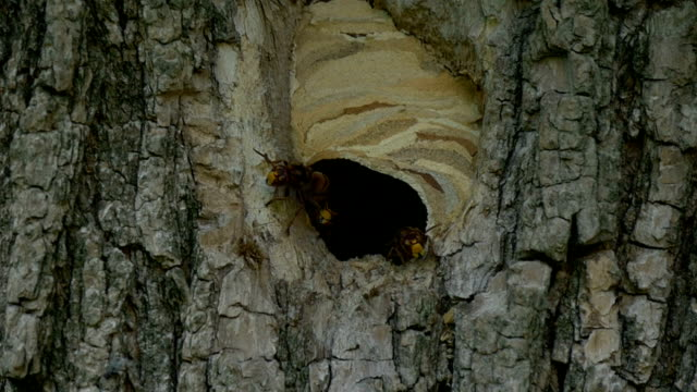 Hornet Fly In Out Nest Slow Motion video