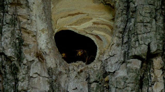 Hornet Fly Out Nest Slow Motion video